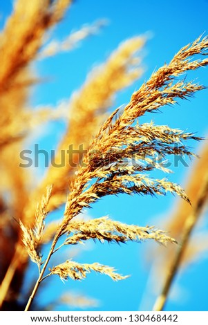 macro wheat  against the blue sky- agriculture vertical landscape
