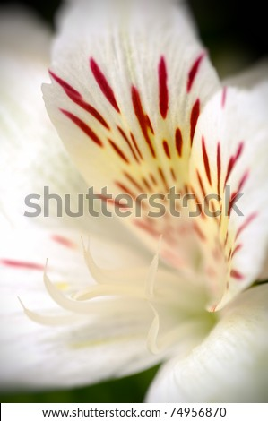 Macro white and red tiger lily - stock photo