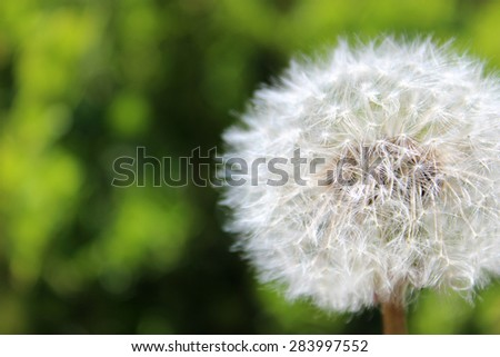 Macro white dandelion with a green background. Photo was taken with the Canon Rebel T3I and a 50mm lens. - stock photo