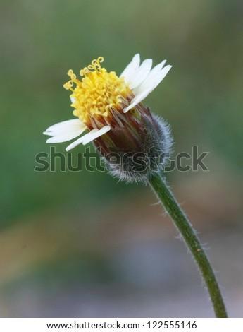 macro yellow grass flower, pollen - stock photo