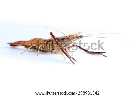 Macrobrachium nipponense, Shrimp. Introduced species Denisovo, Ryazan region, Pronsky area. Russia