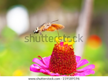 Macroglossum stellatarum is an insect quite similar to a hummingbird, it is named also Hummingbird Hawk-moth or Hummingmoth.It flies during the day with an audible humming noise.  - stock photo