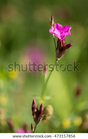 Macrophotography of a wild flower (Dianthus carthusianorum)