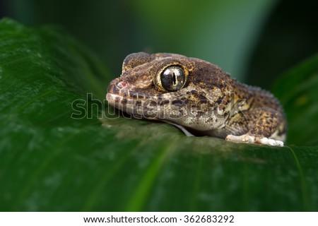 Madagascan Ground Gecko on large wet palm leaf/Gecko/Madagascan Ground Gecko (Paroedura Pictus) - stock photo