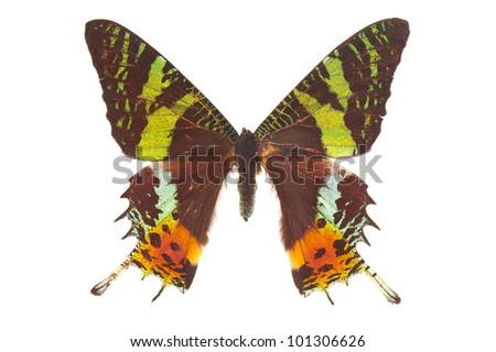 Madagascan sunset moth (Chrysiridia rhipheus) butterfly isolated on white - stock photo