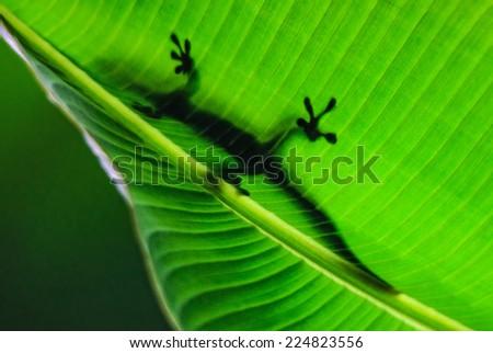 Madagascar Day Gecko - stock photo