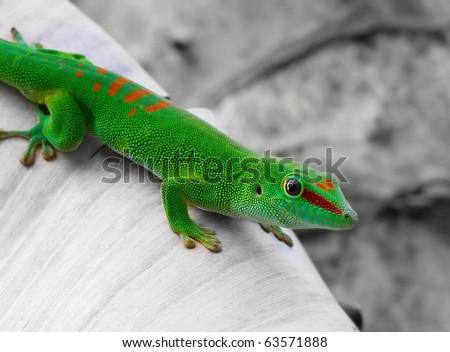 Madagascar day gecko on black and white bacground - stock photo