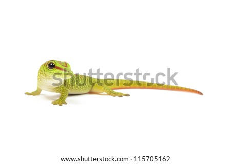 Madagascar day gecko on white background. - stock photo