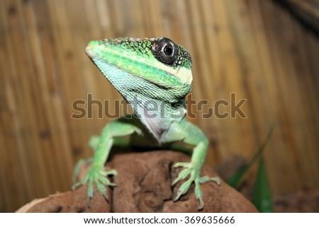 Madagascar giant day gecko - stock photo