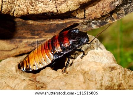 Madagascar hissing (Gromphadorhina portentosa) cockroach - stock photo