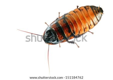 Madagascar hissing (Gromphadorhina portentosa) cockroach isolated - stock photo