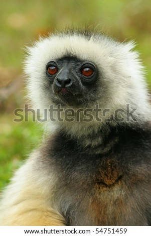 Madagascar lemur in wild - stock photo