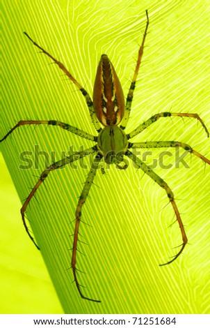 Madagascar Lynx Spider (Peucetia madagascariensis) on a leaf in Antsirabe, central Madagascar - stock photo