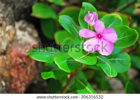 Madagascar periwinkle, Madagascar periwinkle, Catharanthus roseus, Vinca flower - stock photo