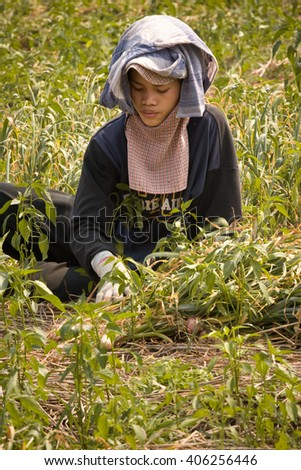 MAE HONG SON , NORTH THAILAND - APRIL 2, 2004 :  In the province of Mae Hong Son, north of Thailand close to Myanmar border. Burmese migrant workers harvesting onions in the fields