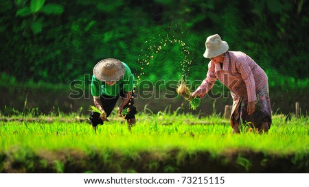 MAEHONGSON, THAILAND - JULY 26: Farmers plant rice in rice field, July 26, 2010 in MaeHongSon, Thailand. Thailand is currently the worlds largest producer of rice in the world. - stock photo