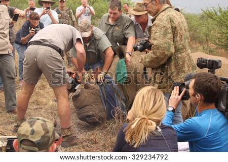 MAGALIESBERG, SOUTH AFRICA - October 14: Dehorning of rhinos in Askari Game Lodge for protection October 14, 2015 in Magaliesberg, South Africa. Finishing dehorning of large rhino after been darted.