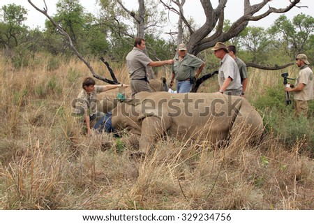 MAGALIESBERG, SOUTH AFRICA - October 14: Dehorning of rhinos in Askari Game Lodge for protection on October 14, 2015 in Magaliesberg, South Africa.  Mother and calf after been darted.