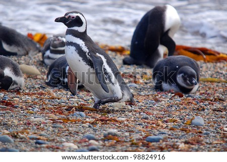 Magellan Penguins (order Sphenisciformes, family Spheniscidae) are a group of aquatic, flightless birds living almost exclusively in the southern hemisphere, especially in Antarctica. - stock photo