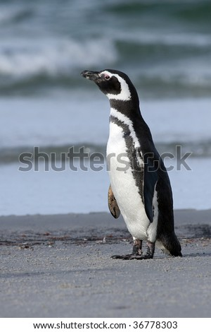 Magellanic penguin (Spheniscus magellanicus) standing on the beach at Saunders Island, Falkland Islands - stock photo