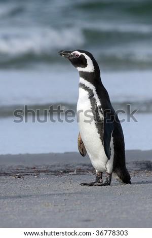 Magellanic penguin (Spheniscus magellanicus) standing on the beach at Saunders Island, Falkland Islands - stock photo
