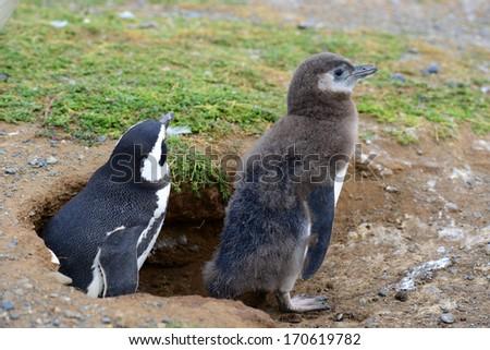 Magellanic Penguins on an island near Punta Arenas, Patagonia, Chile - stock photo