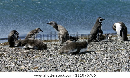 Magellanic Penguins on its natural habitat in Ushuaia, Tierra del Fuego, Argentina. - stock photo
