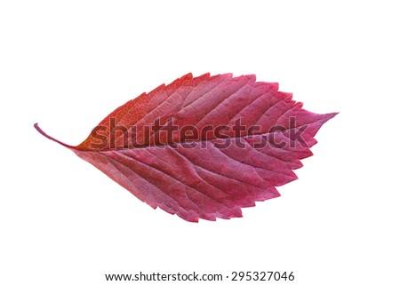 Magenta autumn leaf on isolated background - stock photo