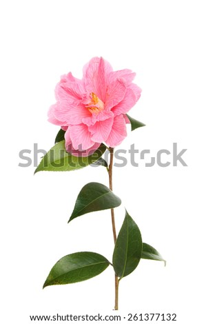 Magenta camellia flower and glossy evergreen leaves isolated against white - stock photo
