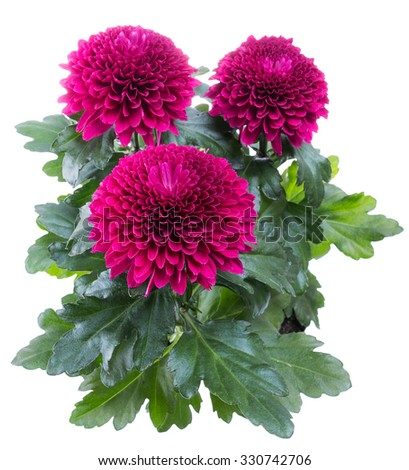 magenta chrysanthemum flower in macro lens shot  - stock photo