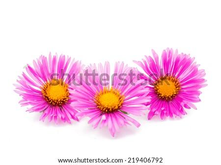 magenta chrysanthemum on white background - stock photo