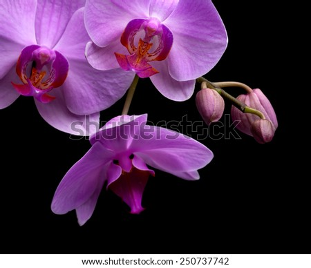 magenta orchid isolated on black background - stock photo