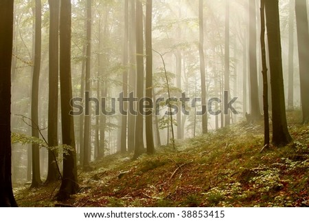Magic beech forest surrounded by a dense fog with the sunlight trying to pass it. - stock photo