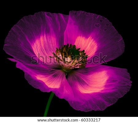 magic flower - poppy - stock photo