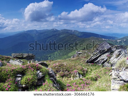 Magic pink rhododendron flowers in the mountains.  - stock photo