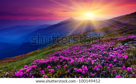 Magic pink rhododendron flowers on summer mountain. Carpathian, Ukraine. - stock photo