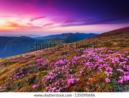 Magic pink rhododendron flowers on summer mountain.Carpathian, Ukraine. - stock photo