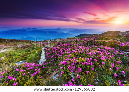 Magic pink rhododendron flowers on summer mountain.Carpathian, Ukraine. Europe - stock photo