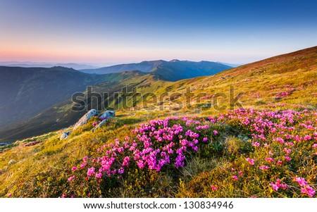 Magic pink rhododendron flowers on summer mountain.Carpathian, Ukraine, Europe. Beauty world. - stock photo