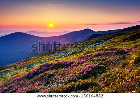 Magic pink rhododendron flowers on summer mountain. Carpathian, Ukraine, Europe. Beauty world. - stock photo