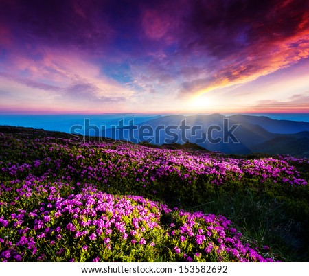 Magic pink rhododendron flowers under the dark blue sky. Majestic Carpathian, Ukraine, Europe. Beauty world. - stock photo