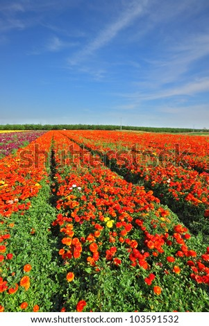 Magic spring. Vast fields of bright red flowers Ranunculus. Flowers are grown for export - stock photo