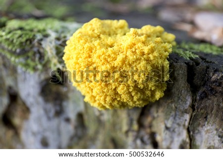 Magic yellow jelly Mushroom