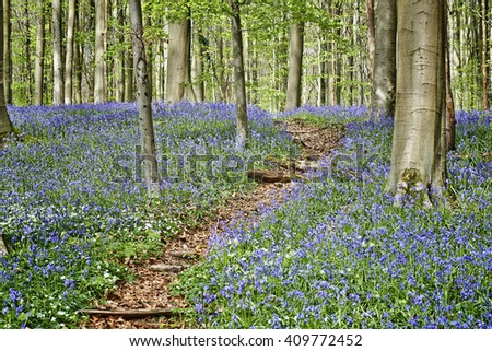Magical Morning  in forest of Halle with bluebell flowers, Halle, Belgium - stock photo
