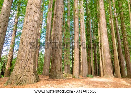 Magical redwoods at Hamurana springs near the lake Rotorua, New Zealand - stock photo