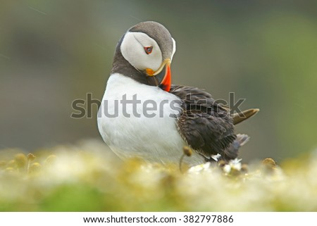 Magnificant portrait of an Atlantic Puffin, Fratercula arctica, preening itself in the rain, with selective focus and diffused background, Skomer Island, Pembrokeshire, West Wales, United Kingdom - stock photo