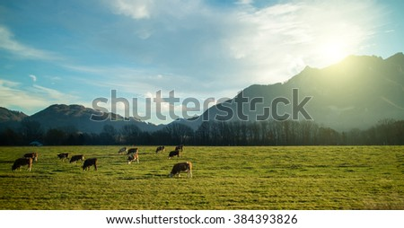 Magnificent Alpine landscape with cows grazing on the green meadow at sunrise. Beautiful blue sky with clouds and lots of sunlight.