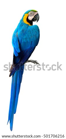 Magnificent Blue and Gold Macaw parrot bird, beautiful bright Blue bird isolated on white background