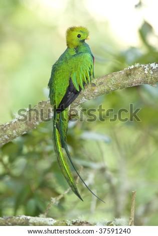 magnificent costa rican resplendent quetzal , savegre mountain, costa rica - stock photo