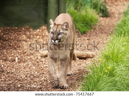 magnificent cougar or mountain lion pacing along a shaded path - stock photo